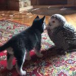 Owl and Husky